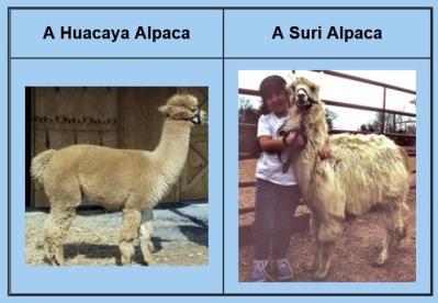 apaca and llama